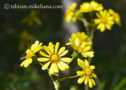 ツワブキの花も咲く時期に・・・