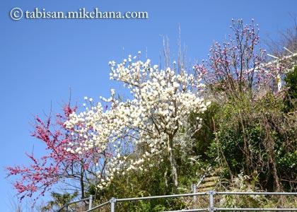緋寒桜とコブシと木蓮・・・