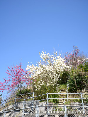 緋寒桜とコブシと木蓮が青空に・・・