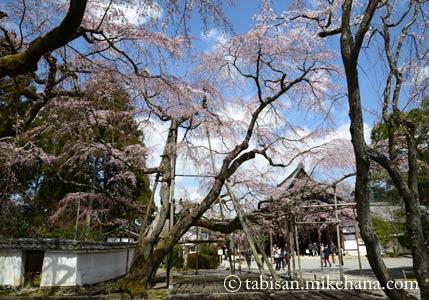 醍醐寺 三宝院のサクラ
