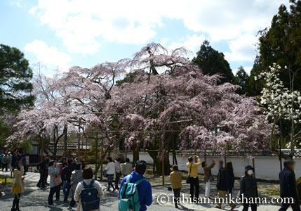 太閤しだれ桜の周りには観光客が・・・
