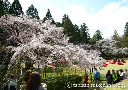 憲深林苑ないの桜も・・・