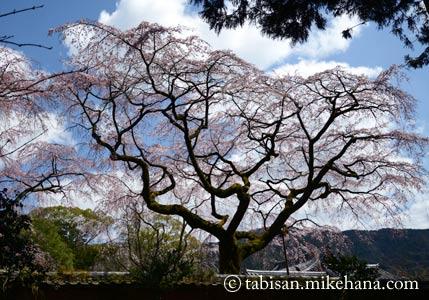醍醐寺 伽藍・霊宝殿の桜に誘われて・・・