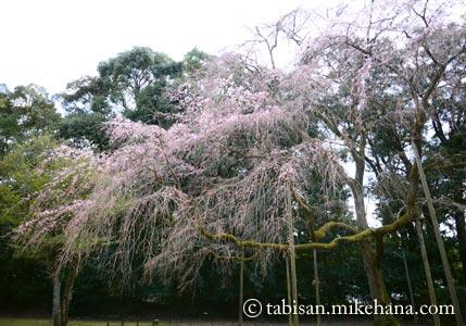 清瀧宮の枝垂れ桜