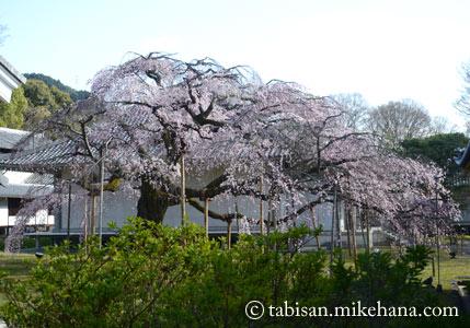 霊宝館の庭の枝垂れ桜も...