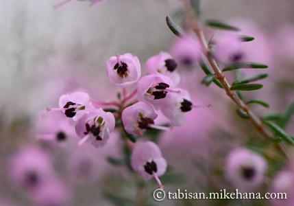 何とも可愛らしい、小さな花「ジャノメエリカ」...