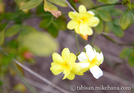 白と黄色の混ざった花も...、「ウンナンオウバイ」