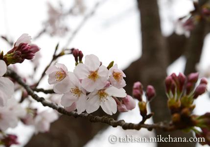五分咲きほどのサクラ...