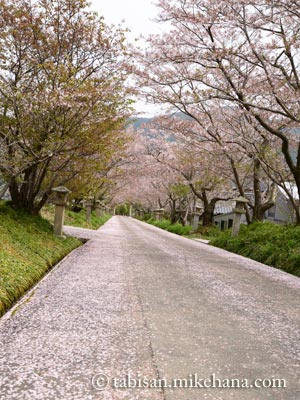 桜の花びらの絨毯を敷き詰めたよう・・・