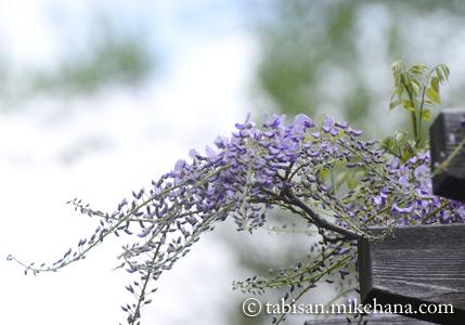フジも花を...