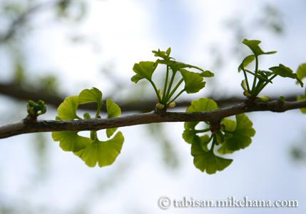 イチョウの小さな若葉... 色づく頃はよく見るのだが・・・
