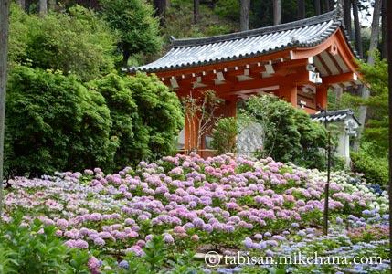 雨を気にしながら三室戸寺へ・・・紫陽花編
